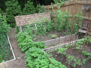 The very illegal four- chicken coop at the bottom of my old vegetable garden.
