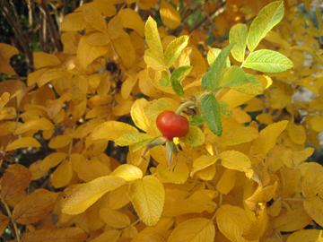 autumn rugosa2