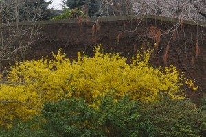 Forsythia is given added emphasis situated between greening azalea and a brick wall - in a few weeks, the azalea will return the favor.
