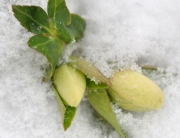 winterhellebore