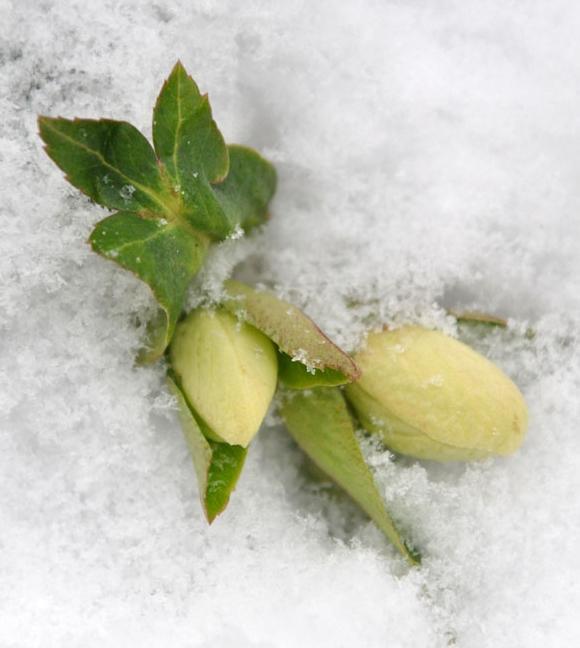 winter hellebore