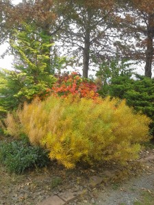 The autumn show-stopper, A. hubrectii backed by viburnum and thuja