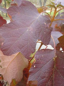 H. quercifolia has strong leaves of deep red long into November