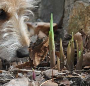 Convalaria shoots are just as fascinating to my Jack Russell as they are to me