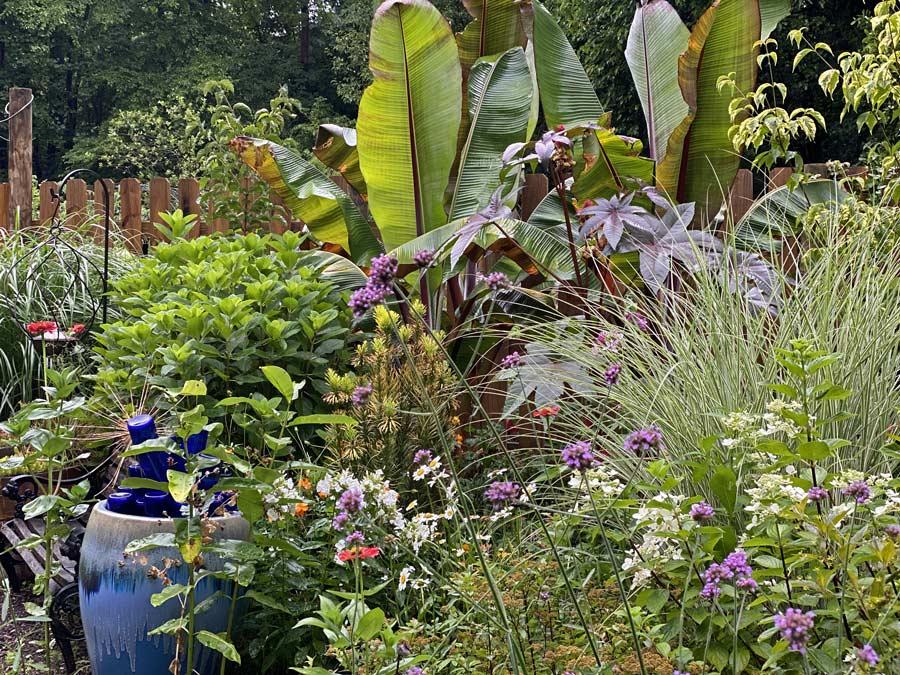 Bananas in the August Garden