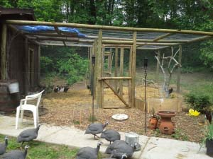 The very legal 24 chicken coop with attendant guineas at the new digs.