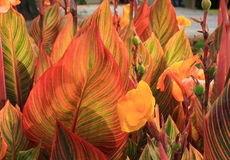 Tropicanna cannas are equally at home in containers or in the ground – even in damp areas.