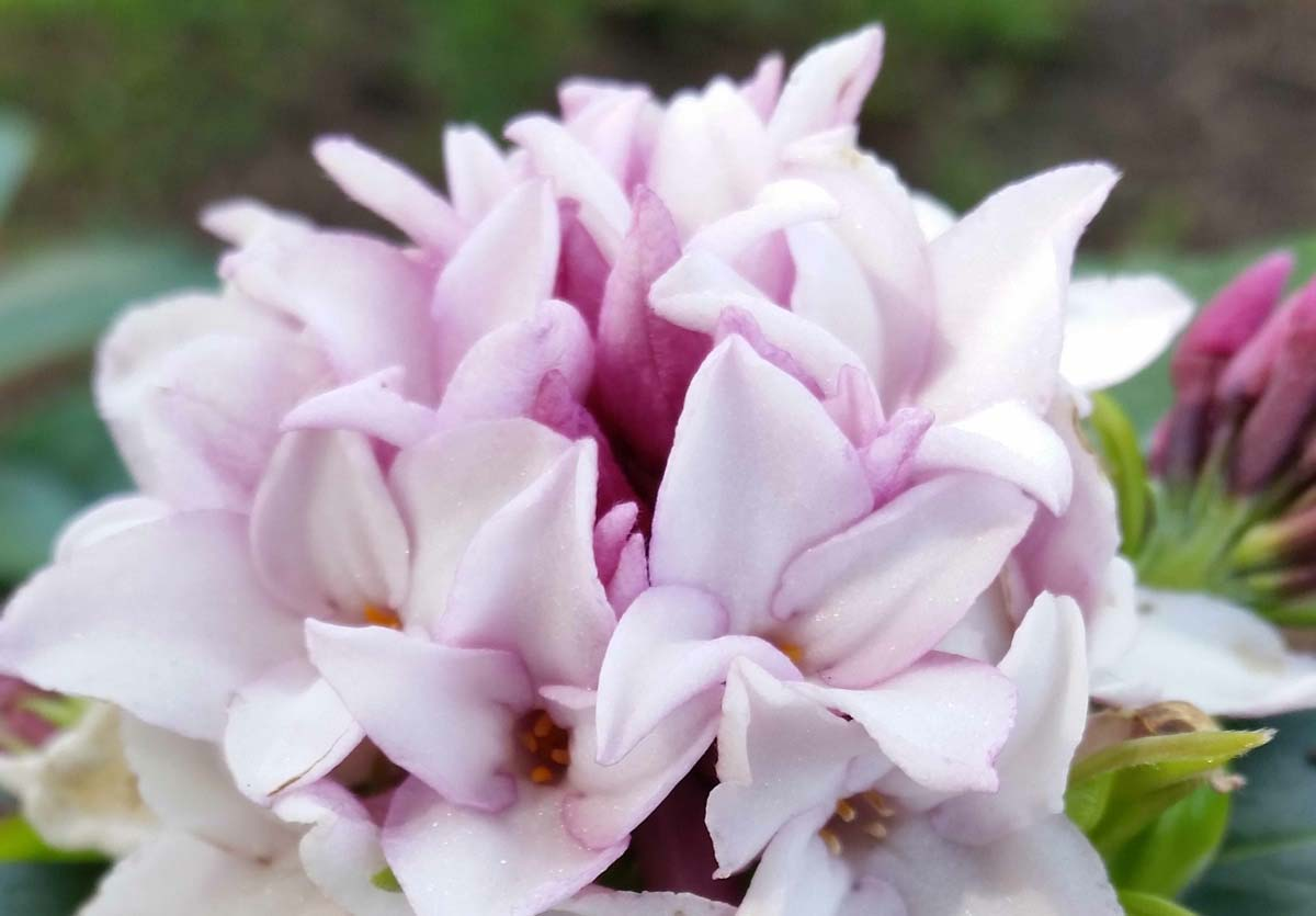 Planting new Perfume Daphne Princess near a window or doorway is a great way to enjoy its heavenly scent, even from indoors