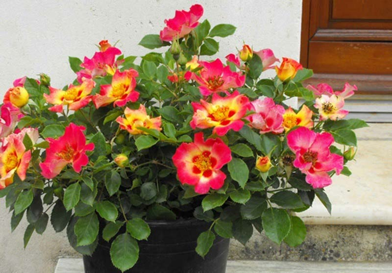 Sweet Spot Decorator roses are ideal for adding a blast of color to any entryway.