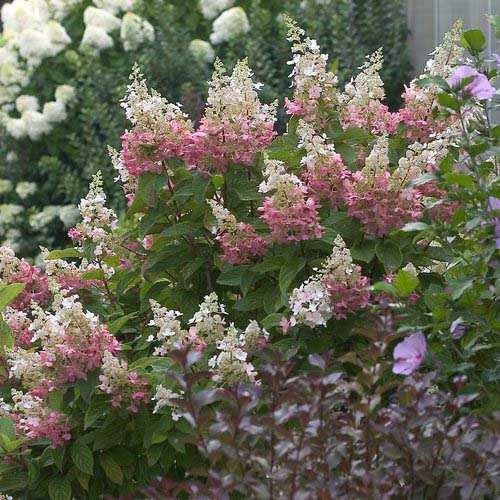 H. paniculata 'Pinky Winky' Photo courtesy of Proven Winners