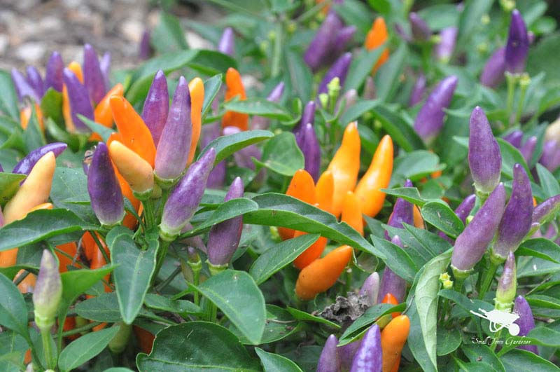 Vegetables can be ornamental as well as edible.  Nu-mex Easter packs a spicy punch both in the garden and on the plate.
