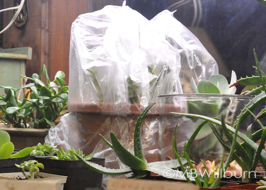 Cuttings take root in Forsythe pots under plastic bags