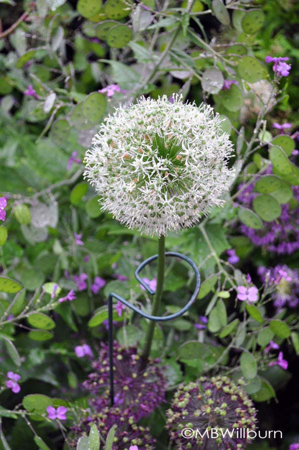 white-allium