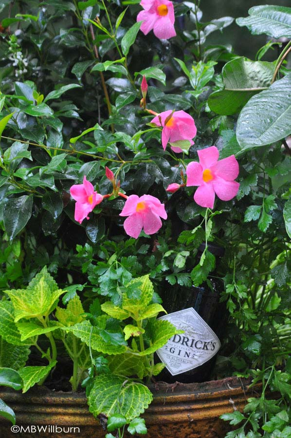I like to mix edibles & drinkables with ornamentals. Here, gin pairs nicely with a mandevilla, a bit of coleus and some breath-freshening parsley.