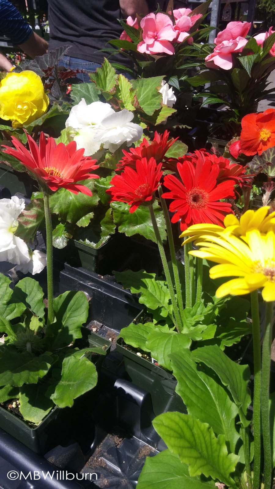 Nothing says spring like a winter-forced gerbera.