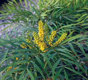 'Soft Caress' Mahonia eurybracteata. Photo courtesy of Southern Living Plant Collection.