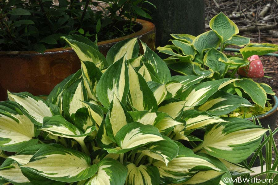 happy-hostas