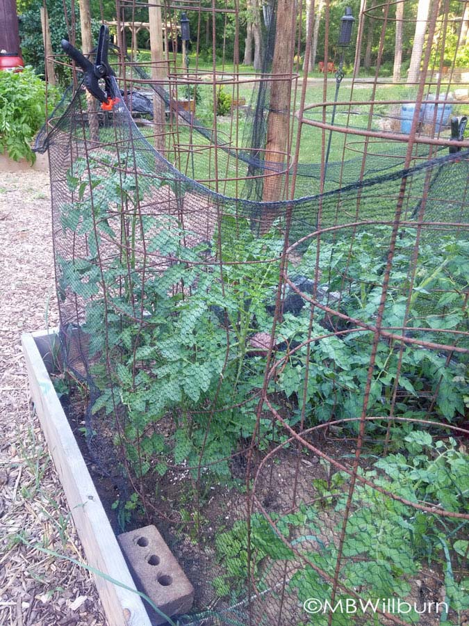 To protect tomatoes, whose cages are taller than hoops, I use the cages as a structure themselves.