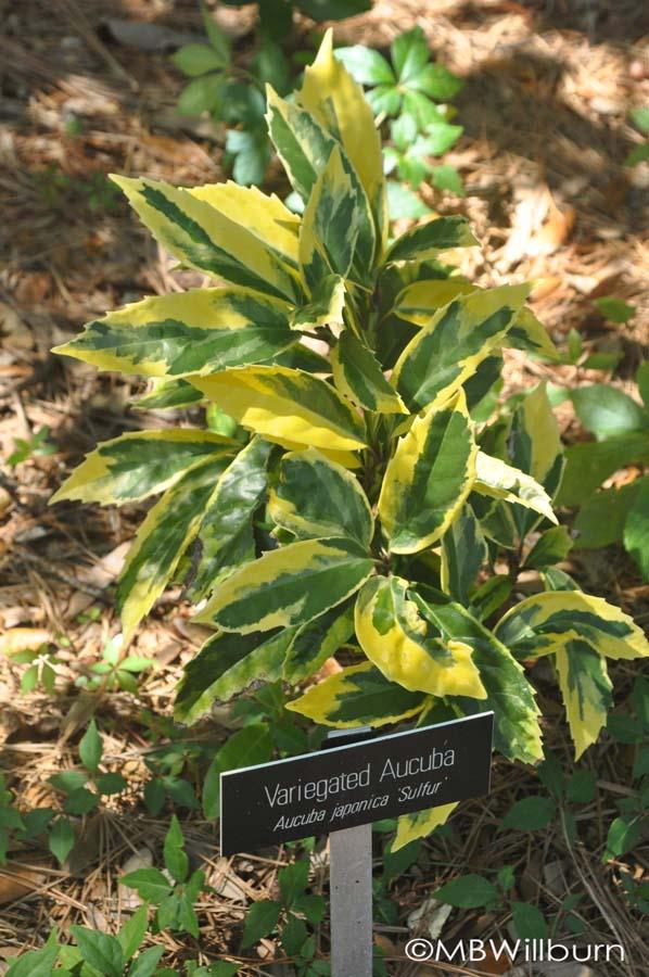 acuba-sulphur