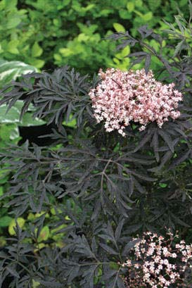 S. nigra 'Black Lace' Photo courtesy of Proven Winners.