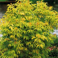 S. racemosa 'Sutherland Gold' Photo courtesy of Nature Hills