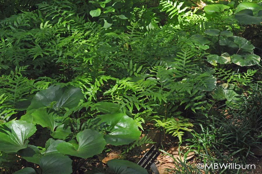 fern-and-farfugium