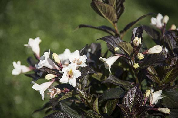 Weigela Date Night 'Tuxedo.' Photo courtesy of Bloomin' Easy Plants