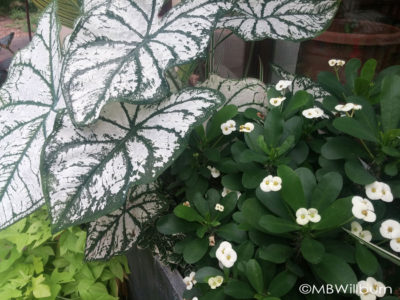 Caladium paired with Euphorbia milii creates a trough 'white garden' for the deck.