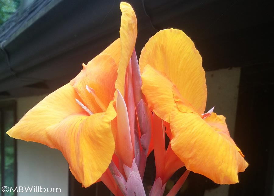 As if the foliage wasn't enough, the blossom from Canna indica 'Pretoria' is a heart-stopper and makes this one of my favorite plants to grow.