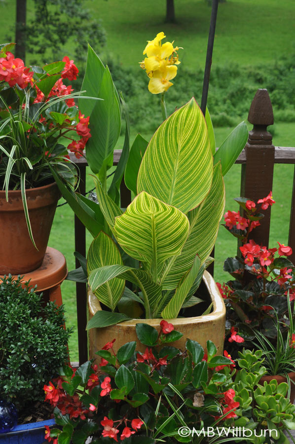 'Pretoria' (aka 'Bengal Tiger') canna in a container with a yellow-flowered canna 'Mango.'