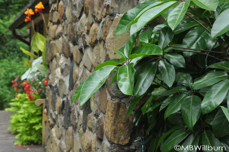 A large schefflera benefits from a season outdoors - in the background, the Pretoria canna are blooming fiery orange.