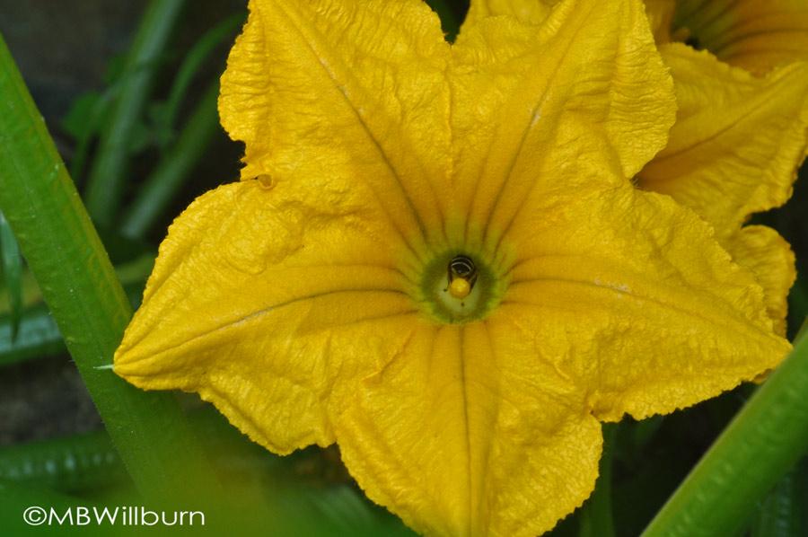 squash-blossom