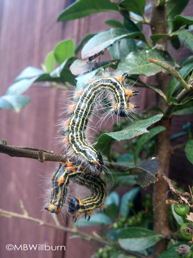 yellow-necked-caterpillar