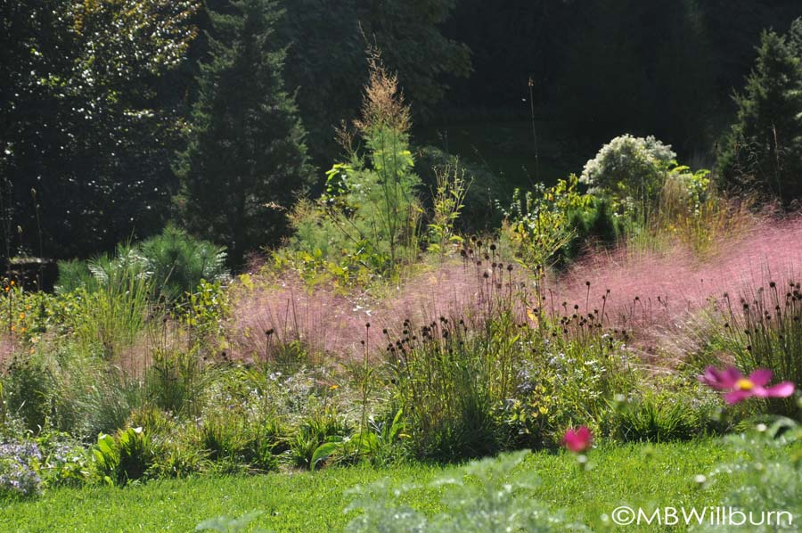 M. capillaris floats throughout the gravel garden at Chanticleer