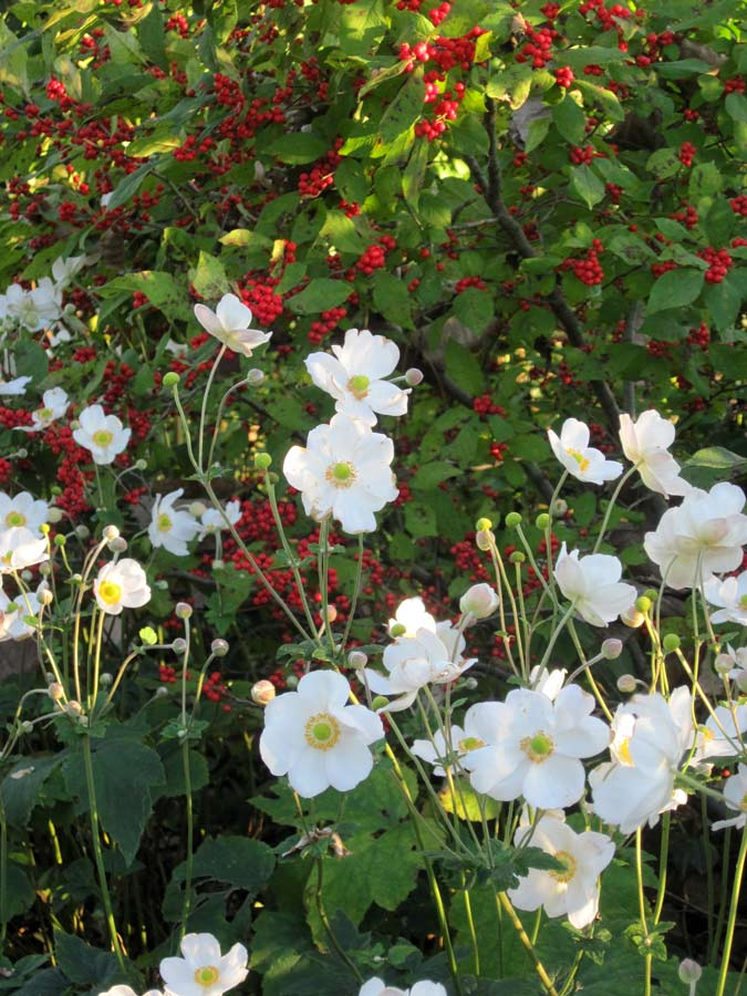 Anemone x hybrida 'Honorine Jobert' and Ilex verticillata 'Winter Red' - what a pairing!