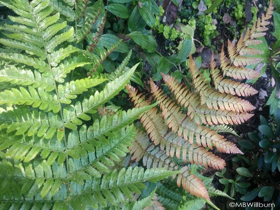Autumn fern with new and older fronds.