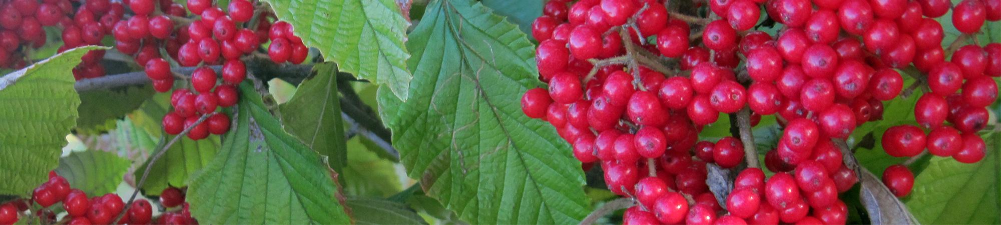 autumn-viburnum