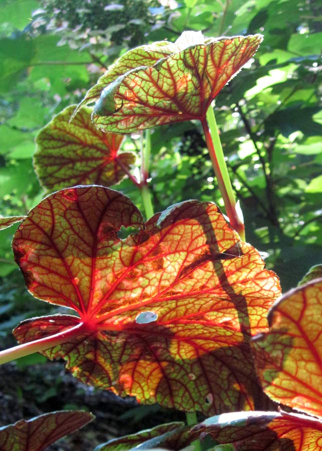 Plant Begonia grandis near a climbing path to be able to see the incredible bloodred undersides of the leaves.