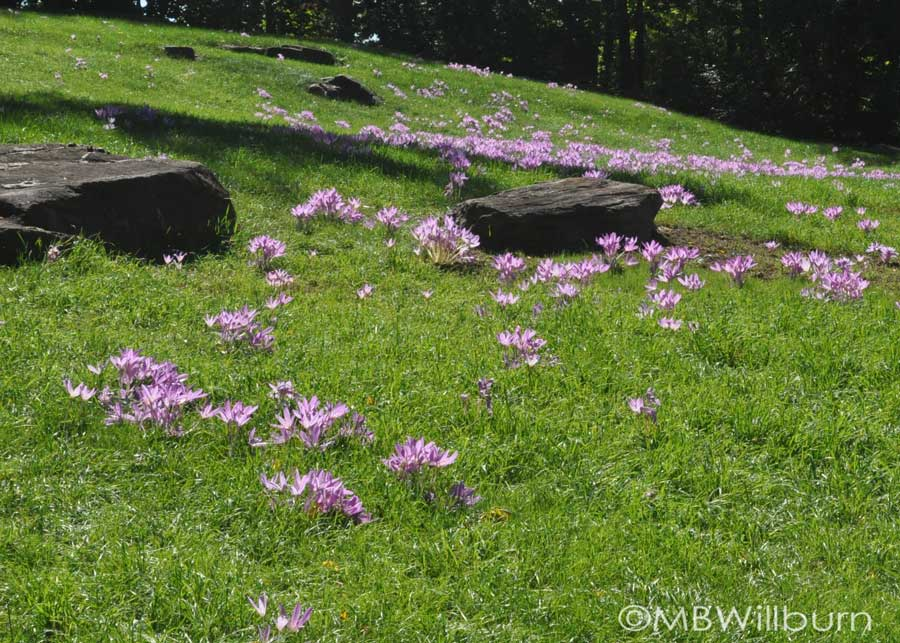 colchicum-hillside