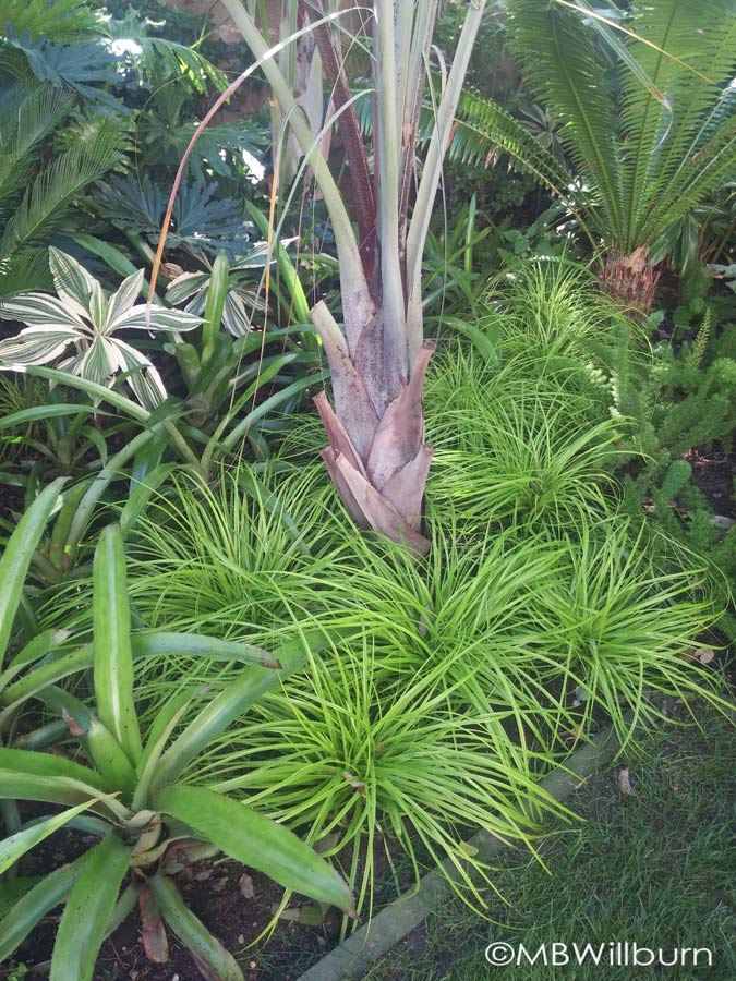 'Everillo' carex lights up a tropical planting in Chanticleer's Teacup Garden