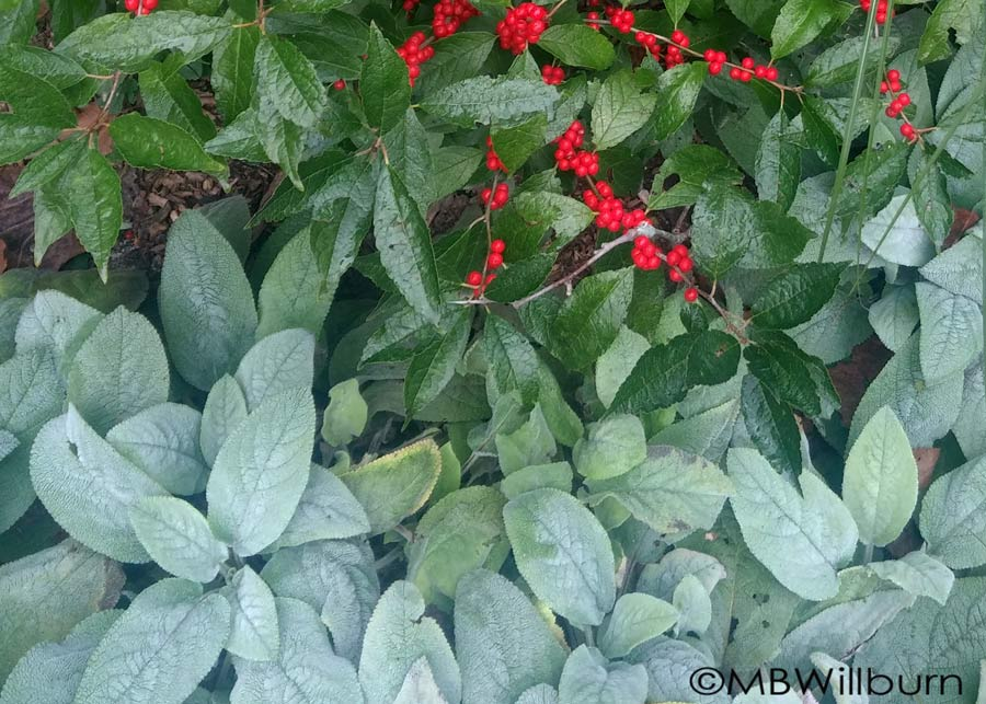 'Helene von Steine' stachys is a great contrast to berrying shrubs - particularly red ones like this 'Winter Red' ilex