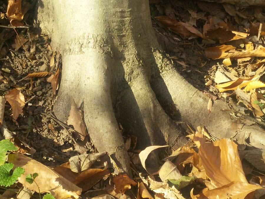 beech-roots