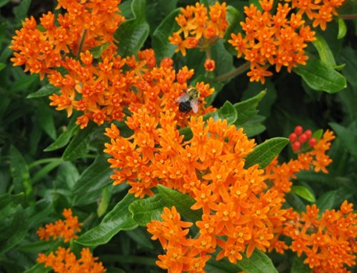 PPA names Asclepias tuberosa 2017 Perennial Plant of the Year