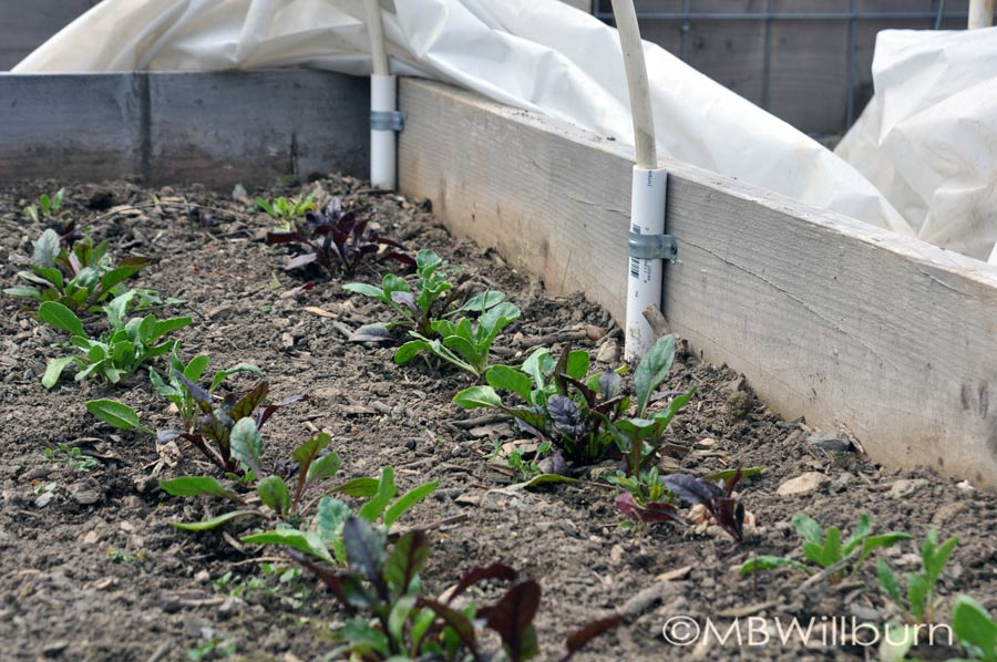 baby-beets