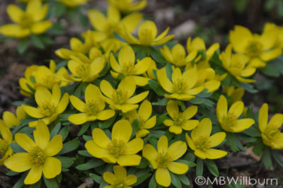 Winter aconite sprouted only to shrivel up with warm temperatures this week.