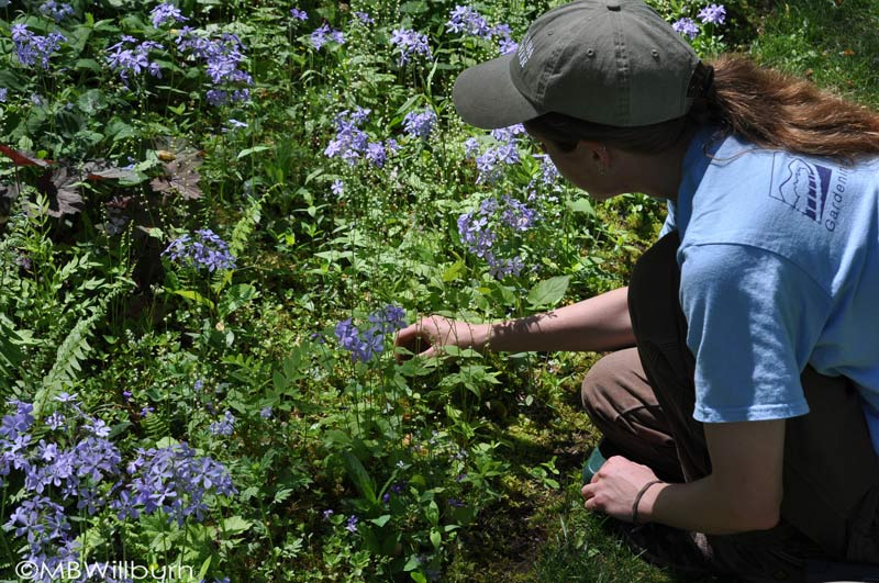...and here's one of those lovely interns. This industrious horticulturist at Mt. Cuba was recently weeding woodland beds filled with sedum, woodland phlox, ferns, mosses and a whole host of other plants. It was just bliss to stand and watch her for a moment.