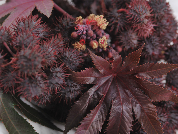 Fascinating red leaves, quick growth, tremendous contrast. August sorted. (Photo credit: Baker Creek Heirloom Seeds)