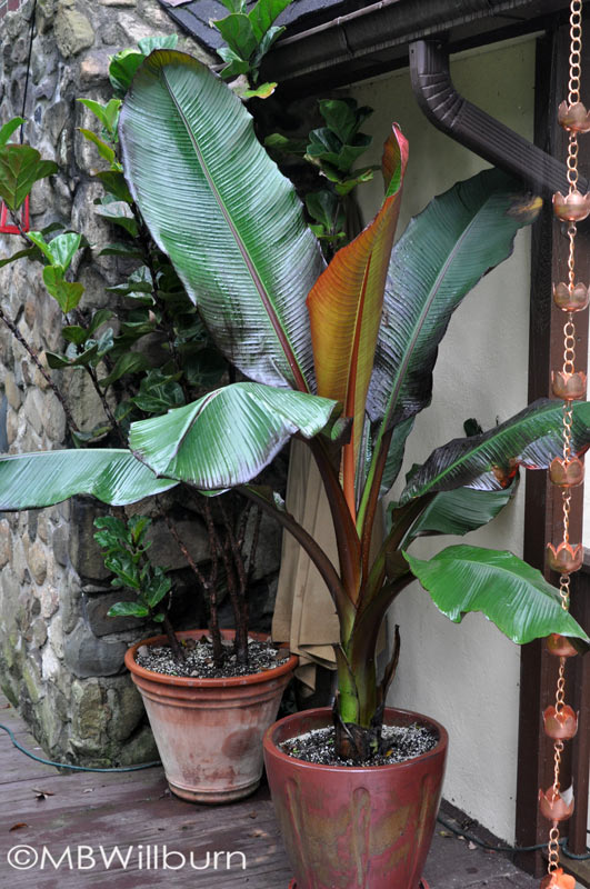 Here a 'Maurelii' ensete pairs with a ficus on the deck in August. The ficus will head into the living room in fall - the ensete to the garage.