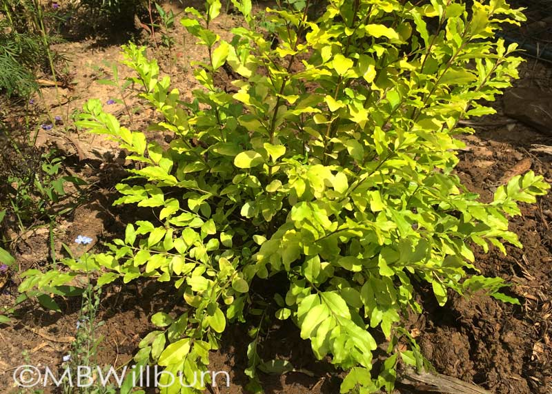 Placing a small shrub in a nursery bed for holding while you figure out the how, where and when is a great idea. This 'Sunshine' ligustrum from Southern Living Plant Collection has almost tripled in size while it's been waiting. Time for a better home.