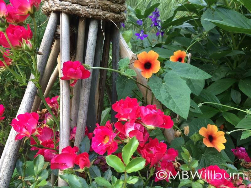 thunbergia-&-rose